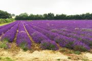 News - Ecolution Darenth Valley Charity Walk - Lavender Fields 1