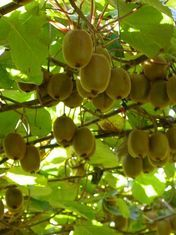 Italians foresee kiwifruit drop