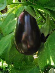 UK uni rewarded for aubergine work