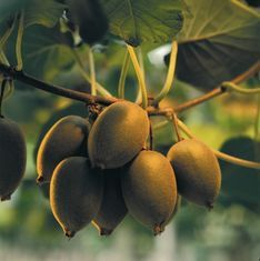 Fears NZ kiwifruit virus will infect 800 orchards