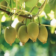 Zespri predicts kiwi output fall