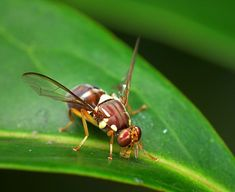 Fruit-fly fears abate in New Zealand