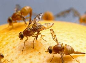 NZ contributes to fruit fly research
