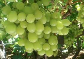 Namibian table grape exports set to fall