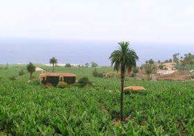 Canarian bananas withdrawn from market