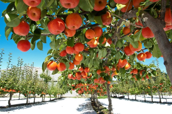 New Agreement For Papple Variety