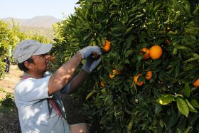 China signs off on Chilean citrus access