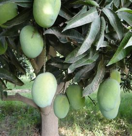 Pakistan to resume mango exports to US