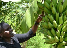 Cameroon optimistic over banana prospects