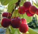 Cherry R&D has 'considerable' potential