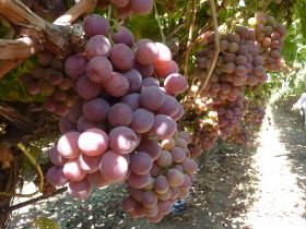 Mixed fortunes for grape suppliers