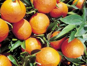 Russia considers ban on Egyptian citrus