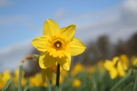 Produce supplier snaps up Cornish daffodil grower