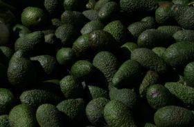 Kenya poised to plant new avocado variety