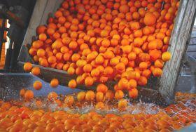Uruguay citrus exports buck trend