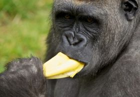 Banana ban for UK zoo's primates