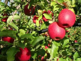 Australian pomefruit volumes tipped to rise