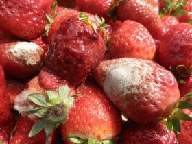 Almost 10 per cent of strawberry crops go to waste