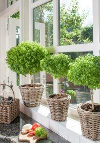 Urban basil tree lands innovation gong