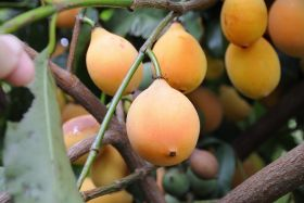 M&S first to stock 'unique' exotic fruit