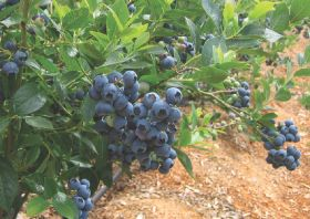 Blueberry demand rising in Europe