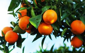 Crunch time for Spanish citrus