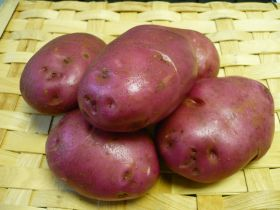 Potato breeding programme favours reds
