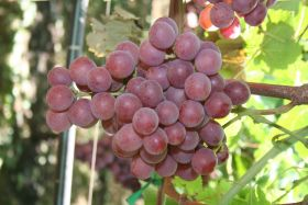 Seedless grapes lead Spain's export charge in RSA