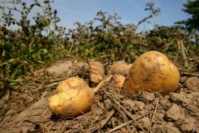 NFU calls for better communication in potato sector