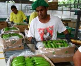 Ecuadorean bananas facing bumpy ride in 2016