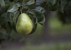 'How do you Anjou?' Asks USA Pears