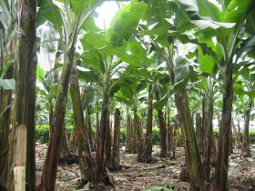 Cranfield builds app for Colombian banana growers