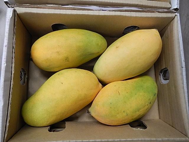 Australia open to irradiated mangoes