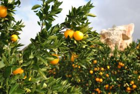 South African citrus shows resilience