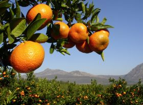 SA expects record citrus export crop