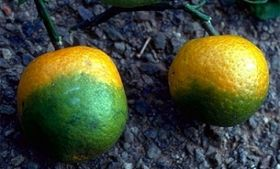 New method sheds light on citrus decay