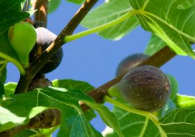 Figs in focus