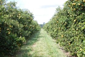 Florida citrus acreage decreases