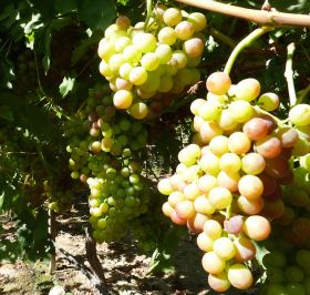 Coloration concerns for CA grapes