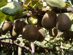 Chile braced for challenging kiwifruit season