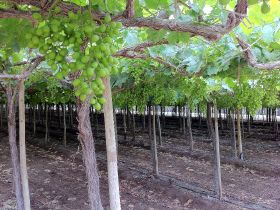 Peruvian grape exports soar