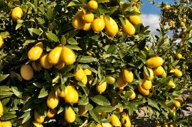Ailimpo predicts return to lemon normality