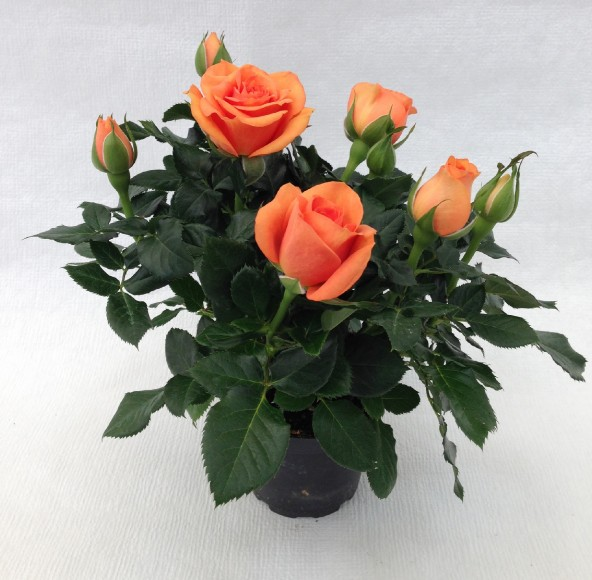Rose breeder launches mini gold for Roselline in vaso