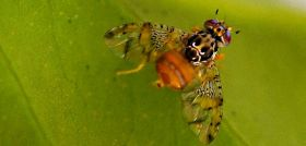 Fenthion phase-out stirs fruit fly fears