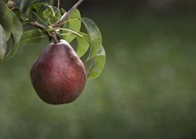 Probiotic potential for pears