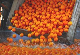 Uruguayan citrus advances on China