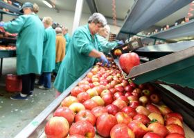 "700,000 MT of Polish apples ""stuck"""