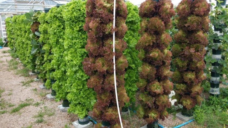 Salad yields boosted by vertical system for Vertical planting system