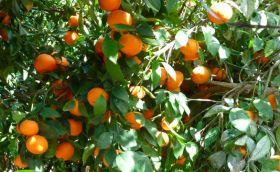 Spain speaks out against RSA citrus imports
