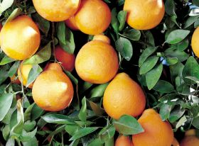 Egyptian citrus faces challenges